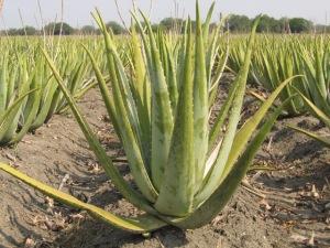 champs d'aloe vera au mexique